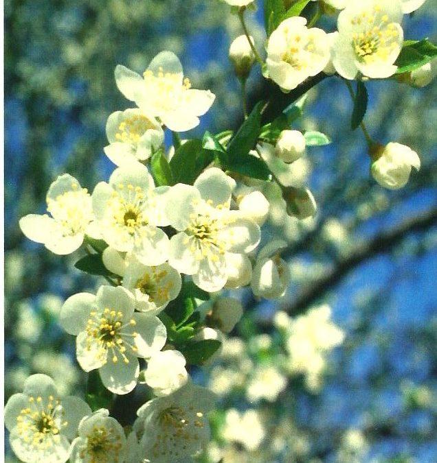 Aki fél a kontroll elvesztésétől, annak a Cseresznyeszilva virága a megfelelő