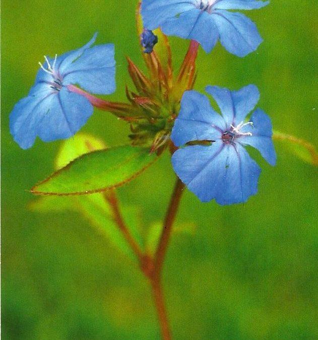 """Kékgyökér  """"Az intuíció virága"""""""